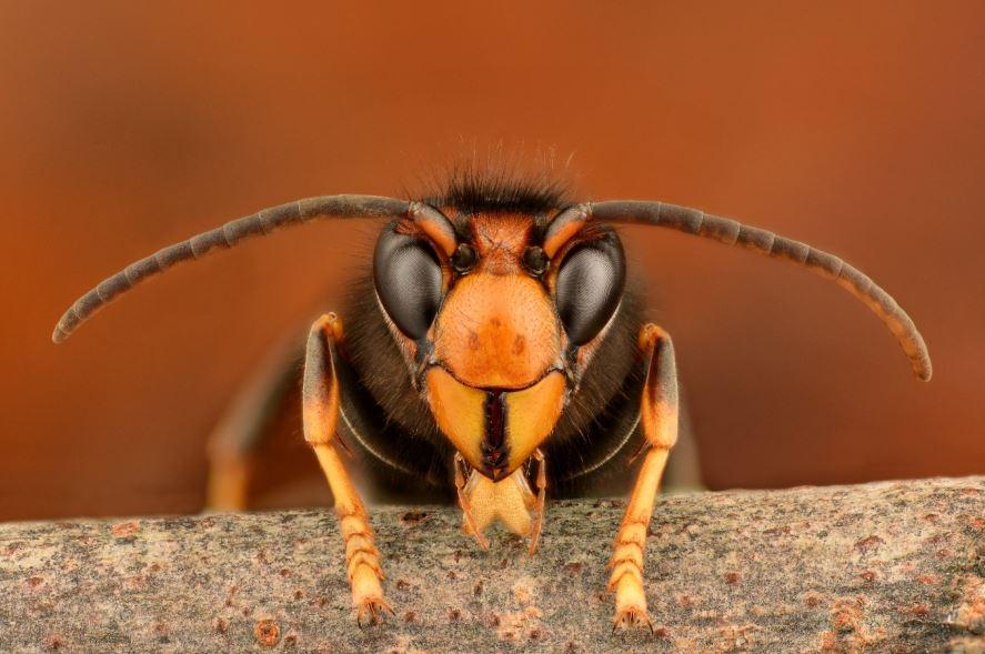 Face of the Asian Hornet